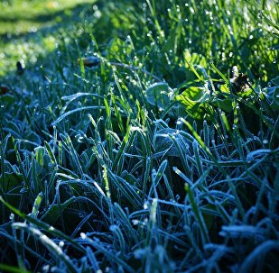 Шэрань на траве