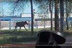 Видеофакт: автолюбители устроили в Витебске погоню за лосем