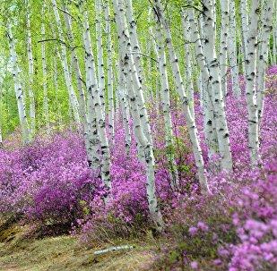 Цветение багульника в Забайкальском крае