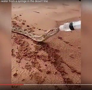 Как напоить змею: рептилия пила из шприца в саудовской пустыне
