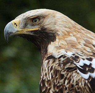 Арол-магільнік (Aquila heliaca)