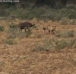 Видеофакт: быки прогнали львов, напавших на их сородича