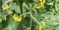 Квітнеючыя памідоры