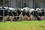 Коровы в колхозе
