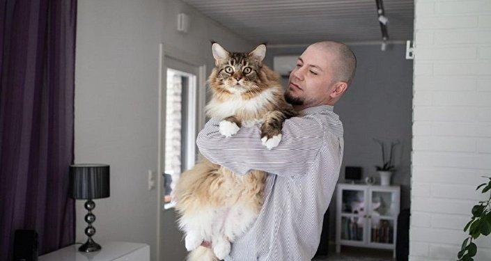 Кот пароды мэйн-кун з Фінляндыі
