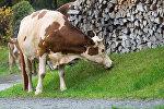 Корова возле поленницы