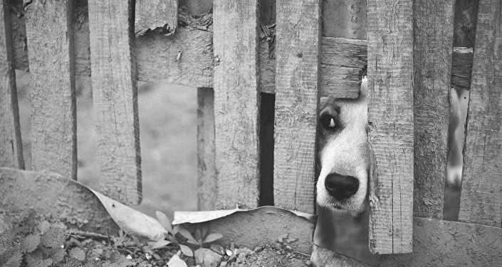 Собака выглядывает через забор, архивное фото