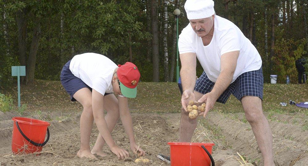 Аляксандр Лукашэнка і ягоны сын Мікалай ўбіраюць бульбу ў рэзідэнцыі ў Драздах