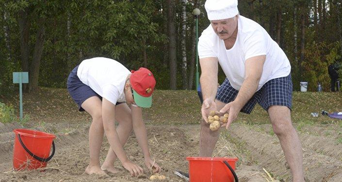 Александр Лукашенко и его сын Николай убирают картофель в резиденции в Дроздах
