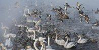 Лебеди и утки, архивное фото