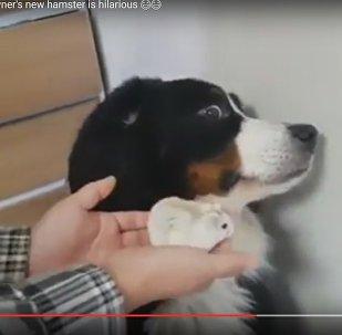 Новый член семьи: как собака отреагировала на хомяка