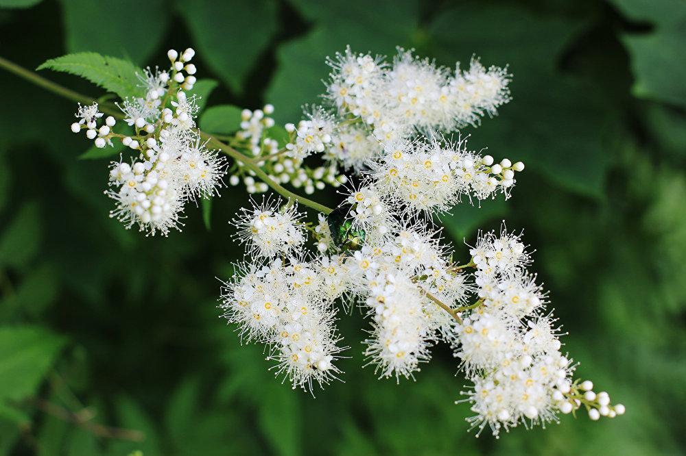У квітнеючых каля альтанкі кустах хаваюцца яркія жукі.