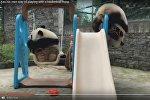 Видеофакт: панда застряла в баскетбольном кольце в зоопарке Китая