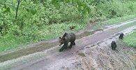 Медведи в Суражском лесхозе