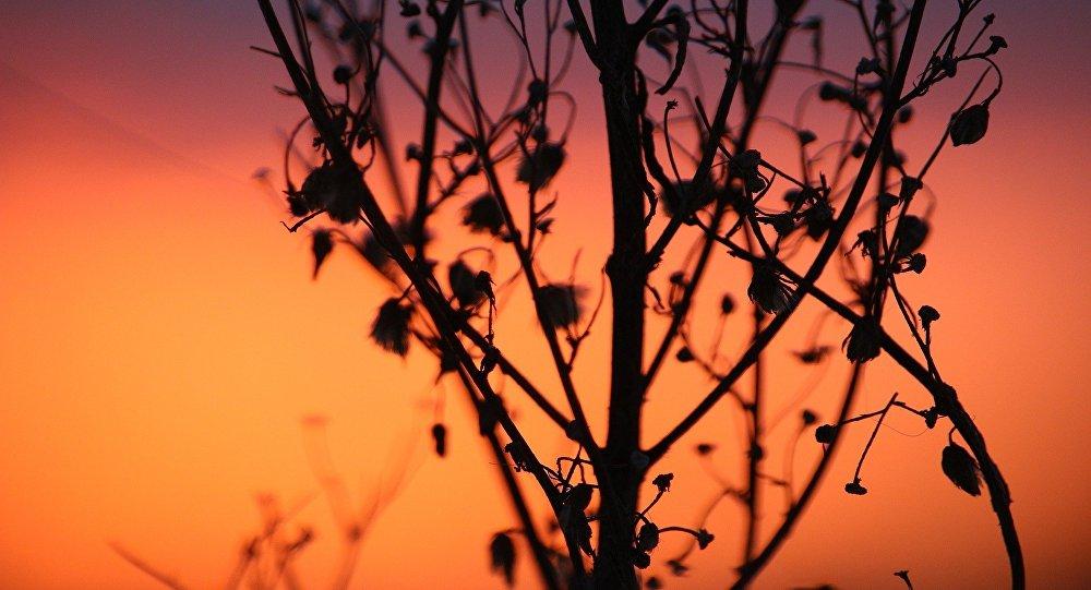 Квіценне палыну