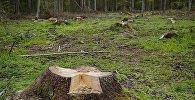 Высечка дрэў у лесе, архіўнае фота