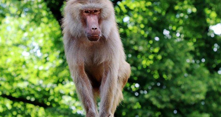 Бабуин, архивное фото