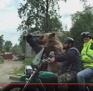 Медведь на мотоцикле в люльке ездил по улицам Архангельска, видео