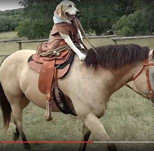 Видеофакт: собака из Техаса научилась ездить верхом на лошади