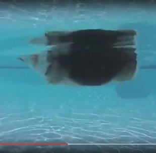 Грациозный заплыв корги в бассейне за день посмотрели 170 тыс. человек