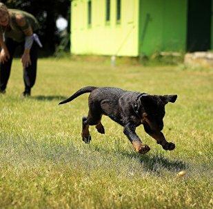 Собака гуляет без намордника