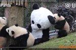 Відэафакт: чалавек у касцюме панды гуляе з дзіцянятамі