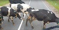 Хромающие коровы, видео