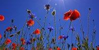 Луговые цветы, архивное фото