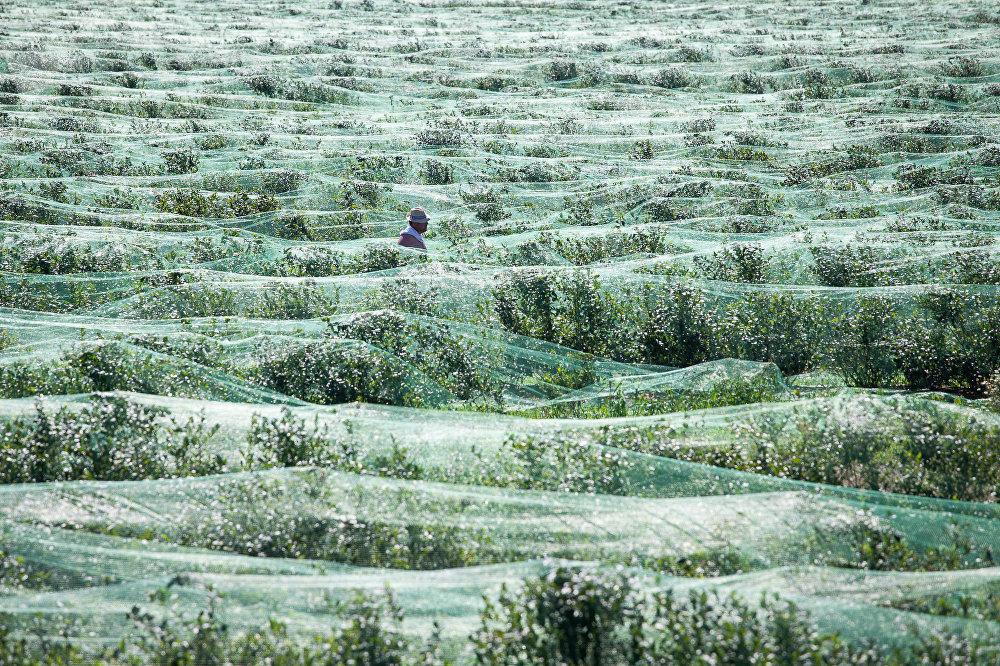 Голубика – сбор ягоды на Полесье