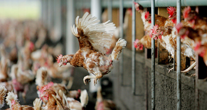 Птичья ферма в Нидерландах, архивное фото
