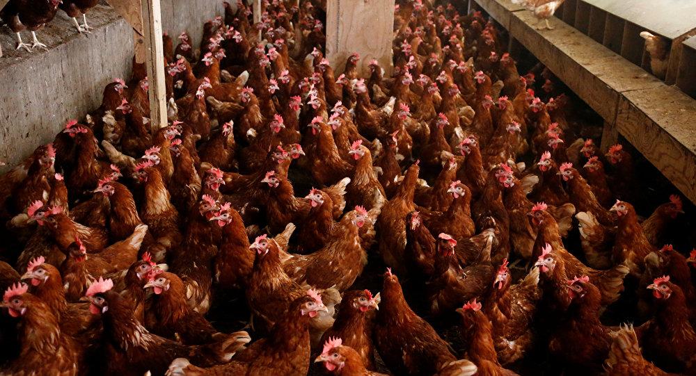 Отравленные куриные яйца изЕС попали в15 стран
