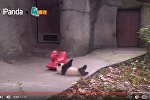 Видео с падающими пандами