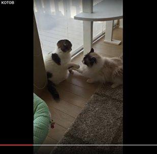 Японец снял на видео ленивое лапоприкладство двух котов