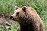 Бурый медведь, архивное фото