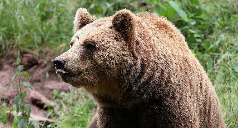 Бурый медведь прогулялся порынку водном изгородов Камчатки
