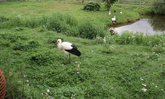 Аисту чуть меньше двух месяцев, минский зоопарк Сирин