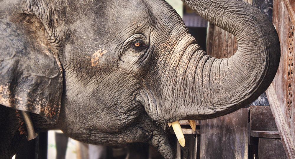 Афрыканскі слон