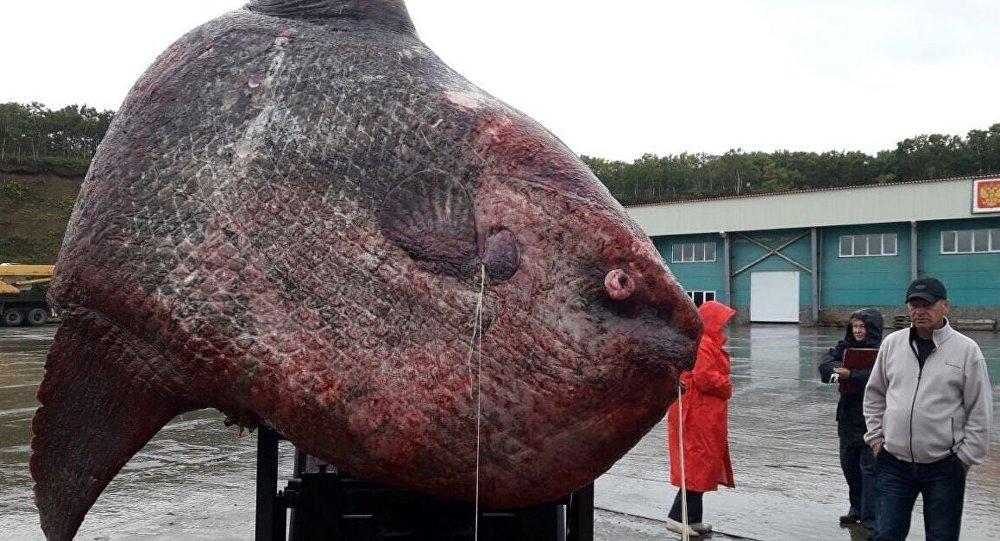 Пойманная рыба-луна