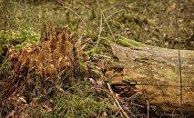 Упавшее сухое дерево в лесу, архивное фото