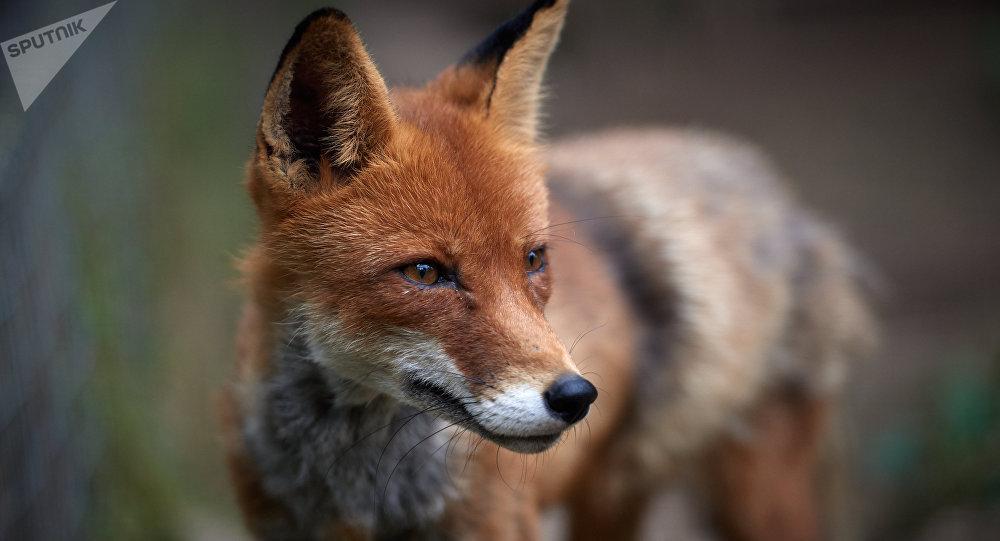 Водном израйонов Пинска введен карантин из-за бешеной лисы