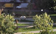 Лошади разгуливают по Могилеву