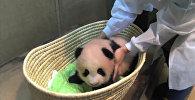 Панде, родившейся в июне в Японии, дали имя Сян-Сян  - Аромат