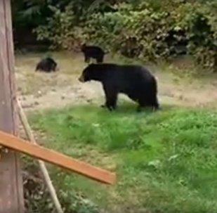 Канадец вежливо попросил медведей покинуть его двор, видео