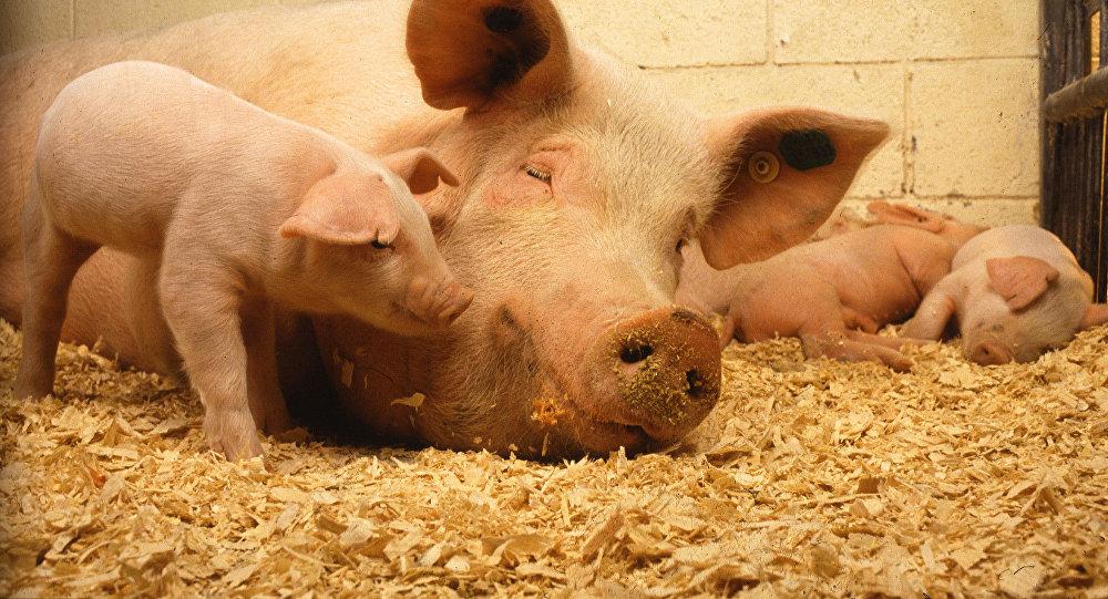 Беларусь приостановила ввоз свинины из ряда регионов России из-за АЧС