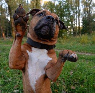 Питбули - не безобидные существа, их должны брать только те, кто готов много работать со своей собакой