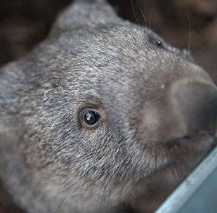Животное вомбат, архивное фото