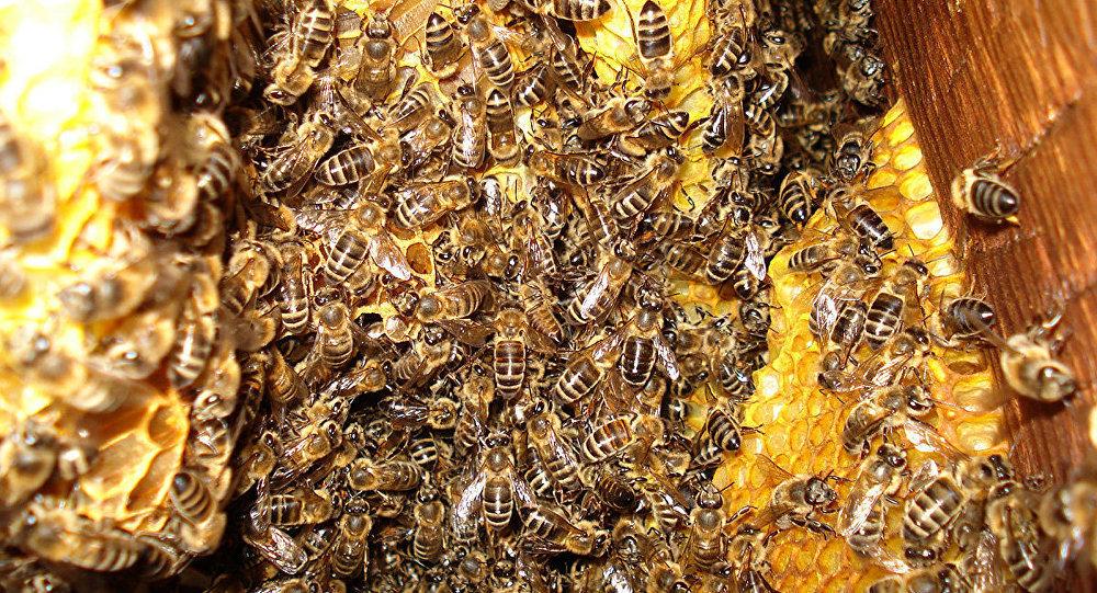 Борцевы мёд у лесе