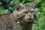 Дикий лесной кот (Felis silvestris)
