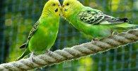 Волнистые попугайчики, архивное фото