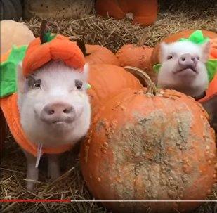 Видеофакт: свиней и собаку замаскировали под тыквы в США